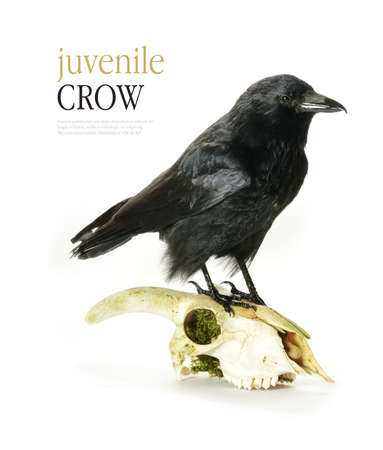 crows: Studio image of a juvenile Crow (Corvus corone) perched on a goats skull  against a white background. Copy space.