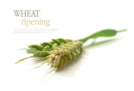 avena: Estudio macro con enfoque selectivo de granos de trigo sin madurar con sombras suaves sobre un fondo blanco. Copiar el espacio.