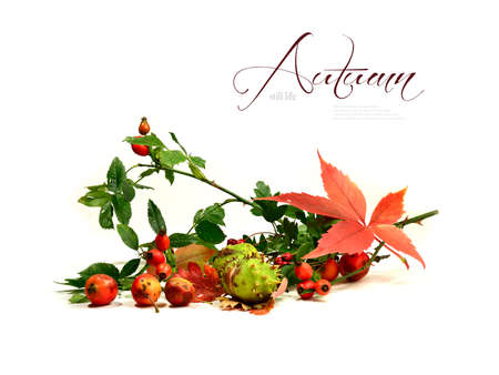 rose hips: Seasonal hedgerow harvest of bright colors and autumn hues  Horse chestnuts  conkers , rose hips and oak apples against isolated white    Copy space