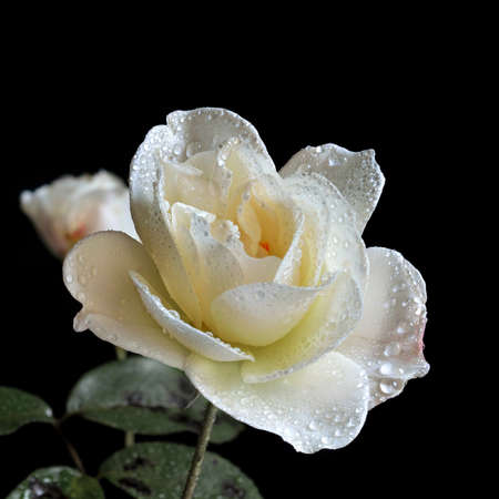 Close up image of white rose bud just beginning to open, covered in water droplets against a dark background. A perfect image for weddings or Valentines Day, Mothers Day. Copy space. photo