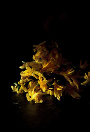 Creatively lit dying yellow fuschias against a black background. Concept image for dying, decay, ageing and retirement etc. Copy space.
