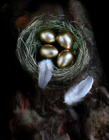 gold eggs: Creatively lit aerial concept image for pension investments and financial planning. Gold eggs nestled in a real birds nest resting on dark wood against a dark background. Copy space. Stock Photo