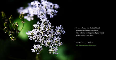 blake and white: Cow Parsley, Anthriscus sylvestris, against a dark background with an extract of the famous poem of William Blake from Auguries of Innocence 1801 - 03. Quotation can be removed and other text of your own choice inserted.
