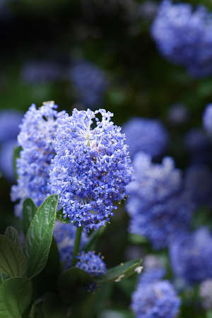 californian: Close-up image of a blooming Californian lilac flower (Ceanothus thyrsiflorus repens) set against a dark background with generous accommodation for copy space.