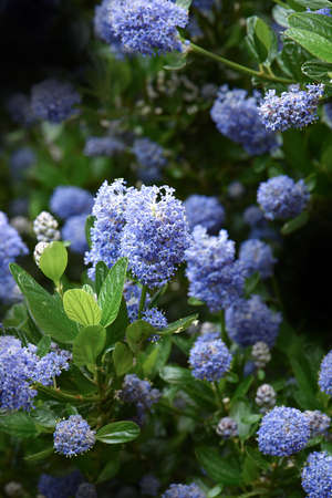 garden flowers: Close-up image of a blooming Californian lilac flower (Ceanothus thyrsiflorus repens) set against a dark background with generous accommodation for copy space.