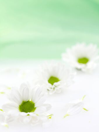 three daisy on table with green background photo