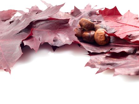 conker: leaf and conker isolated on white