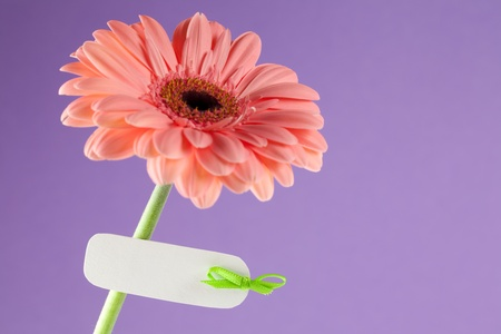 gerbera in front of violett background with label  photo