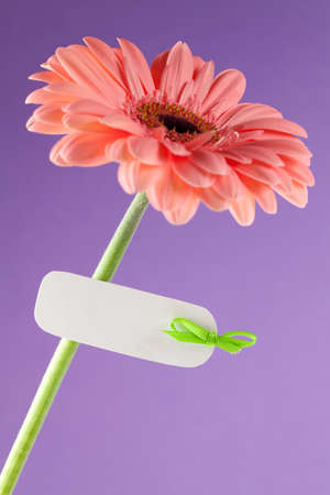 gerbera with label for copy space  photo