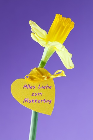 violett: daffodil with heart label in front of violett background