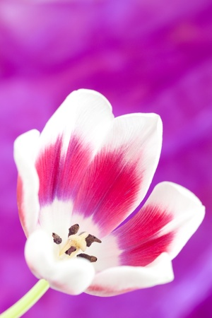 open tulip in front of violett background  Stock Photo - 8835158