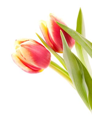 2 objects: two tulips isolated on white with copy space  Stock Photo