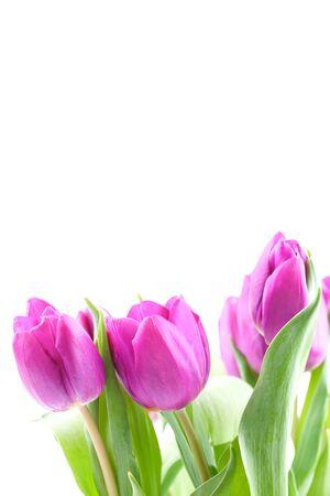 purple tulips isolated on white background Stock Photo - 8835386