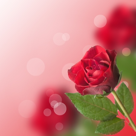 red rose bokeh: single rose with bokeh and copy space