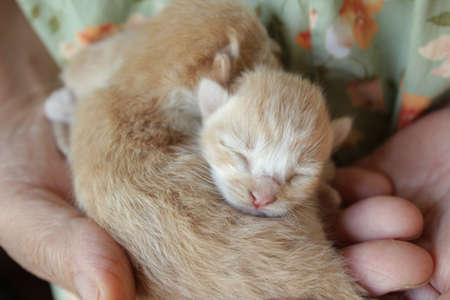 vacance: New Born Kittens in a Hand of Grand Mother Stock Photo