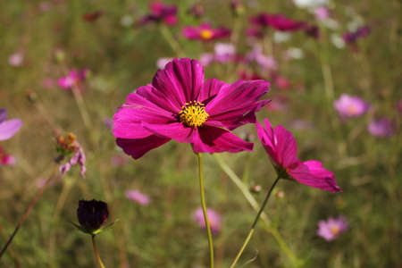 modesty: Deep Pink Cosmos Flower Blooming in Autumn