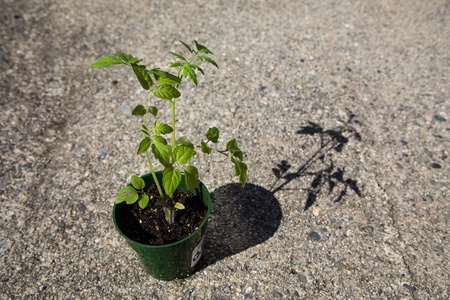 sustainably: Tomato Plant  solanum lycopersicum  growing  sustainably in harsh urban environment