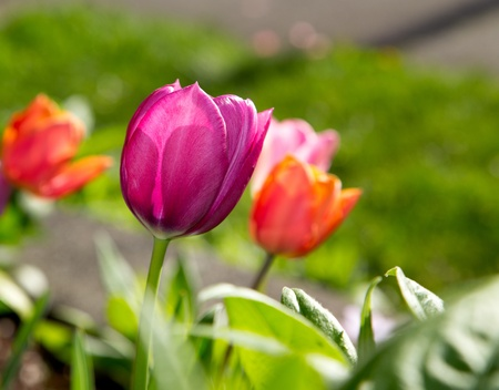 Perfect Purple Tulip Stretching for the Sunlight, shallow depth of field with focus on purple flower photo