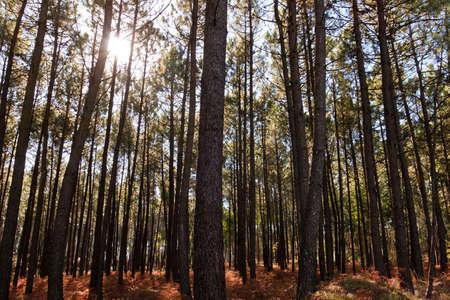 Pine Forest Under Sun Stock Photo