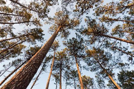 Vista amplia, desde abajo, de la Copa del árbol de pino alto Foto de archivo - 9451243
