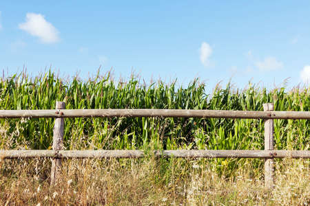 Corn field, behind a wooden fence, against a blue sky and clouds photo