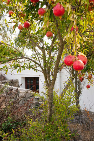 Alone pomegranate tree near an house in Portugal photo