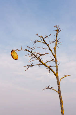 Naked autumn tree with one leaf against blue sky photo