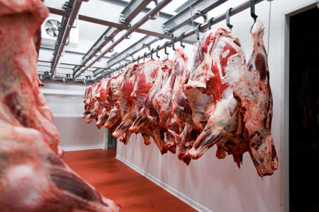 Half cow chunks fresh hung and arranged in a row in a large fridge in the fridge meat industry. Horizontal view.