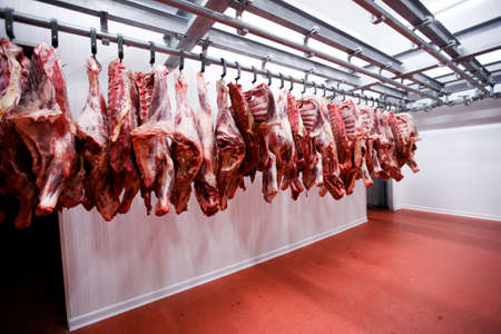 Image of half beef chunks fresh hung and arranged in a row in a large fridge in the fridge meat industry.