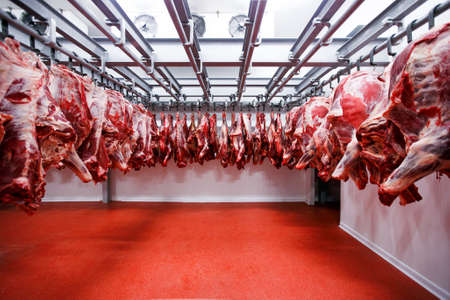 View of a half cow chunks fresh hung and arranged in a row in a large fridge in the fridge meat factory.