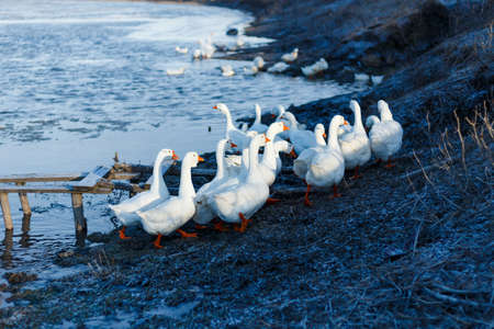 Horizontal view. White domestic geese walking on the place near shore.
