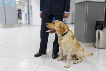 Cropped image of a Labrador dog looking at camera, for detecting drugs at the airport standing near the customs guard.