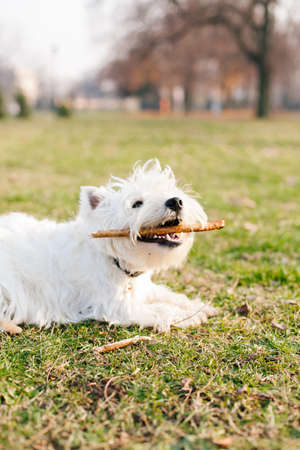 West Highland White Terrier  playing with wooden stick