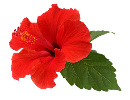 eine rote Hibiskus-Blume auf weißem Hintergrund