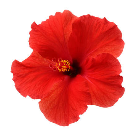 hibiscus flowers: a red hibiscus flower isolated on white background