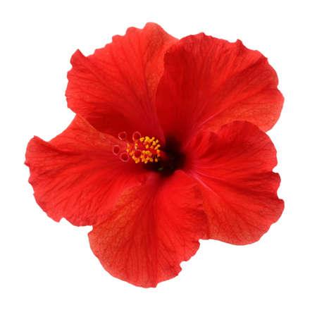 una flor de hibisco rojo sobre fondo blanco