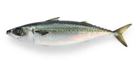 mackerel on a white background photo