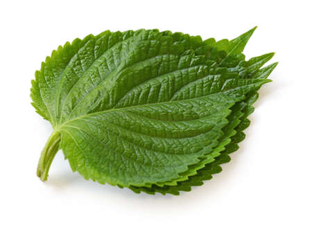 edible leaves: perilla leaves, egoma Stock Photo