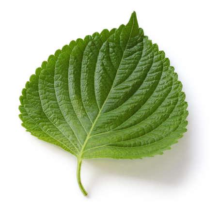 perilla leaf,egoma Stock Photo