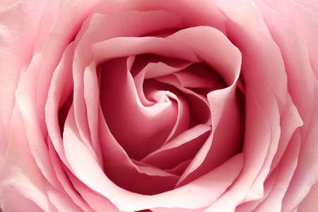 ピンクのローズ、クローズ アップ 写真素材