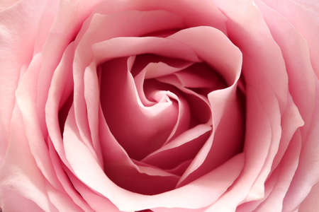 pink rose, close up