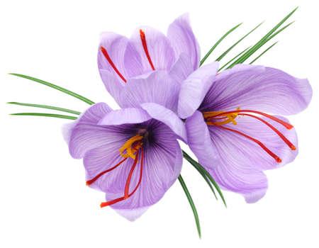 saffron crocus flowers isolated on white