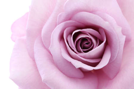 soft violet rose, close up Stock Photo