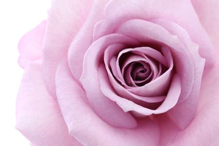 single mom: soft violet rose, close up Stock Photo