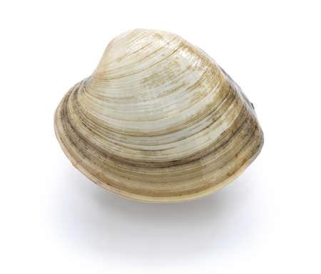 hard clam, quahog isolated on white background Stock Photo