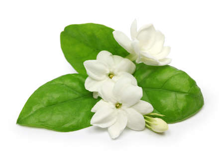 arabian jasmine, jasminum sambac, flower and leaves, jasmine tea flower isolated on white background