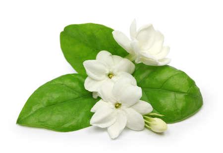 jasmine flower: arabian jasmine, jasminum sambac, flower and leaves, jasmine tea flower isolated on white background
