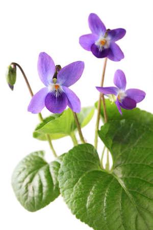 flores moradas: dulce violeta, odorata de la viola aislado en fondo blanco Foto de archivo