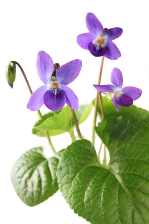 purple floral: sweet violet, viola odorata isolated on white background
