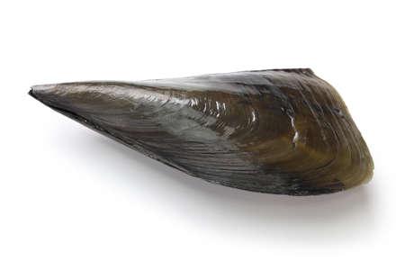 pacific: pacific pen shell Stock Photo